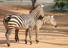 Animal zebras Royalty Free Stock Photo