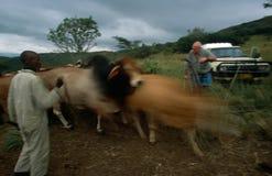 Animala e lavoratori dell'azienda agricola in Sudafrica rual Immagini Stock Libere da Diritti