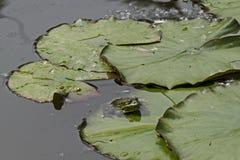 Animale acquatico verde di specie amfibie della rana o del rana dello stagno che prende il sole al sole sul travertino, South Par immagini stock