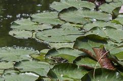 Animale acquatico verde di specie amfibie della rana o del rana dello stagno che prende il sole al sole sul travertino, South Par fotografia stock