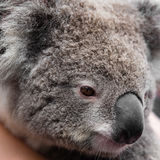 Animale australiano del nativo dell'orso di koala immagine stock libera da diritti