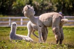 Animale bianco della lama all'aperto Immagine Stock