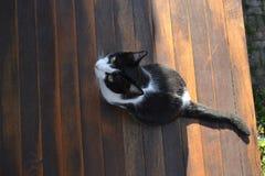 Animale in bianco e nero del gatto Immagine Stock
