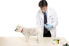 Animale che riceve un'iniezione Immagini Stock