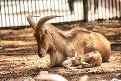 Animale con i corni Fotografia Stock Libera da Diritti