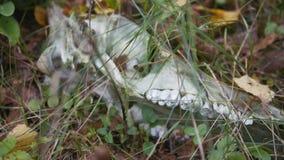 Animale cornuto del cranio selvaggio stock footage