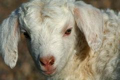 Animale da allevamento immagini stock libere da diritti
