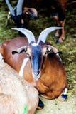 Animale da allevamento cornuto della capra che riposa nel granaio Immagine Stock Libera da Diritti