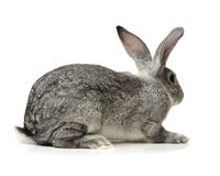 Animale da allevamento del coniglio Fotografia Stock