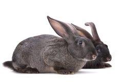 Animale da allevamento del coniglio Fotografia Stock Libera da Diritti