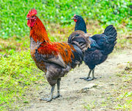Animale da allevamento del gallo e pollo scuro Fotografie Stock Libere da Diritti