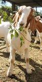 Animale da allevamento della capra Immagine Stock