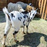 Animale da allevamento macchiato della capra Immagine Stock