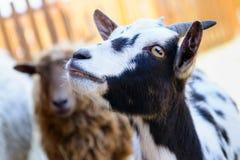 Animale da allevamento macchiato della capra Immagini Stock Libere da Diritti