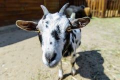 Animale da allevamento macchiato della capra Fotografie Stock