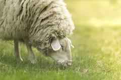 Animale da allevamento - pecora sull'erba immagini stock libere da diritti