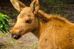 Animale del bambino delle alci Fotografie Stock