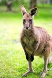 Animale del canguro sull'erba Fotografie Stock