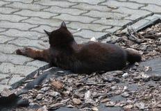 animale del mammifero del gatto nero immagine stock