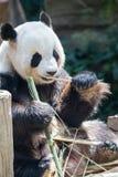 Animale del panda gigante immagine stock libera da diritti