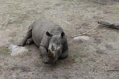 Animale del rinoceronte Immagini Stock Libere da Diritti