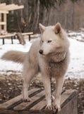 Animale del siberiano del cane del husky Fotografie Stock