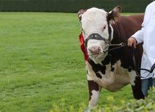 Animale del toro dell'azienda agricola Fotografia Stock