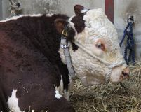 Animale del toro di Hereford Fotografie Stock