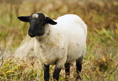 Animale dell'allevamento dell'allevamento di pecore che pasce mammifero domestico Fotografia Stock Libera da Diritti