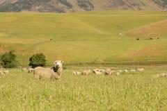 Animale dell'allevamento di pecore Immagini Stock Libere da Diritti
