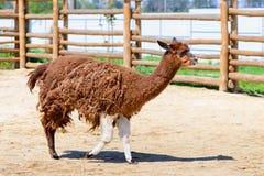 Animale dell'alpaga della lama Immagine Stock
