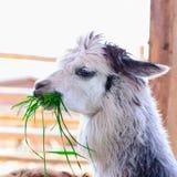 Animale dell'alpaga della lama Immagine Stock Libera da Diritti