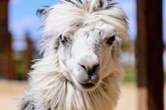 Animale dell'alpaga della lama Fotografie Stock Libere da Diritti