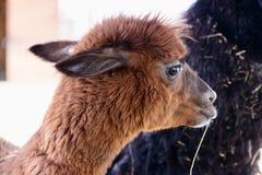 Animale dell'alpaga della lama Immagini Stock Libere da Diritti