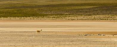 Animale dell'alpaga, lana peruviana, fauna selvatica, Perù Fotografia Stock Libera da Diritti