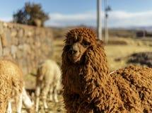 Animale dell'alpaga, lana peruviana, fauna selvatica, Perù Immagine Stock