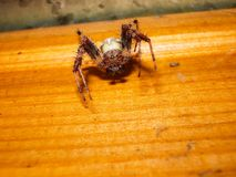 Animale dell'artropodo del ragno immagini stock libere da diritti