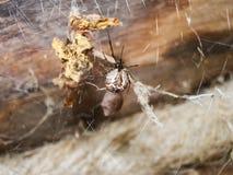 Animale dell'artropodo del ragno fotografie stock
