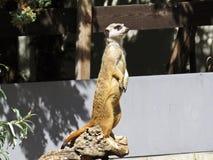 Animale dell'erpeste di Meerkat Suricate che sta e che guarda fuori per l'allarme immagine stock
