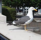 animale dell'uccello del gabbiano fotografie stock