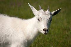 Animale della capra Immagine Stock Libera da Diritti