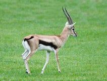 Animale della fauna selvatica del Gazelle di Thomsons Immagini Stock Libere da Diritti