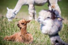 Animale della lama in un gruppo Fotografia Stock