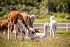 Animale della lama in un gruppo Immagini Stock