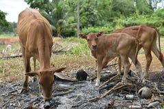 Animale della mucca Fotografia Stock