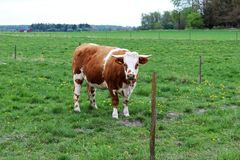 Animale della mucca Fotografia Stock Libera da Diritti