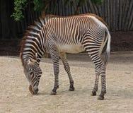 Animale della zebra Immagini Stock Libere da Diritti