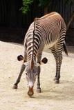 Animale della zebra Fotografie Stock