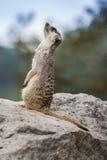 Animale di Meercat del Suricata piccolo Fotografia Stock