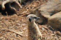 Animale di Meerkat Fotografia Stock
